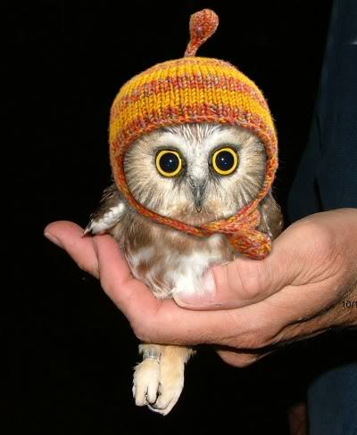 lookatthislittlething:  Owl in a Jayne Hat.