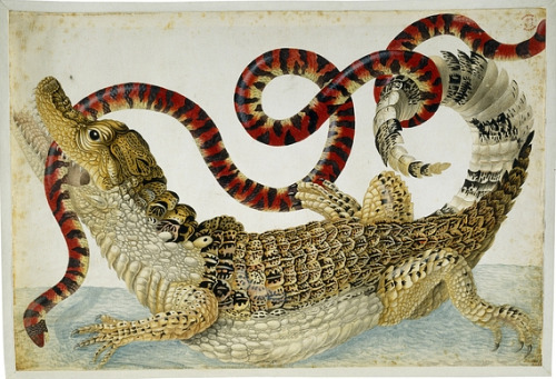 Maria Sibylla Merian Surinam Caiman Fighting a South American False Coral Snake 1699-1703