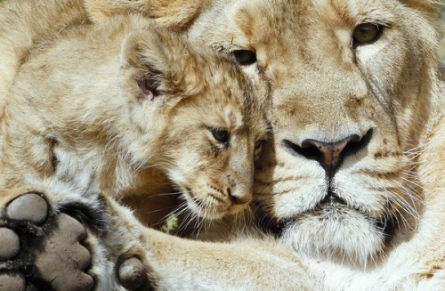 inothernews:  LION CUB:  Hey, Mom?  Could you not call me 'kitten' in front of my friends anymore? MOM: You're making Mommy sad, kitten. (Photo of a two-month-old lion cub playing with his mother in their enclosure at Zurich's zoo by Christian Hartmann / Reuters via the Chicago Tribune)  [Image: a lion cub rubs his face against his mother's face.]