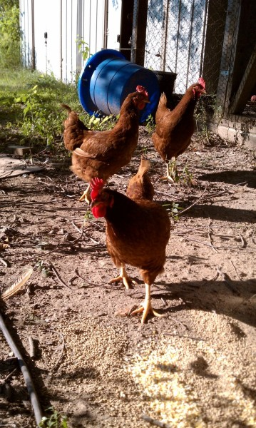 "My dads hens! These lovely ladies provide us with the most delicious eggs I have ever had! He has about 12 hens currently and they each lay an egg every day/every other day, so wonderful, if you have never tried a truly fresh, truly free range local eggs then you are missing out, don't fall for the so called ""free range"" eggs in the grocery store, they are a sham, these are the real deal!"