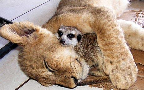 fuckyeahbigcats:  Lion and meerkat friendship echoes The Lion KingA lion who was rejected by its mother has struck up a friendship with a meerkat. Read more. Photo: BARCROFT  I think the internet should replace all of its content with this photo.  And then: WORLD PEACE. [Image: a lion cub sleeping, cuddling a meerkat in its arms.]