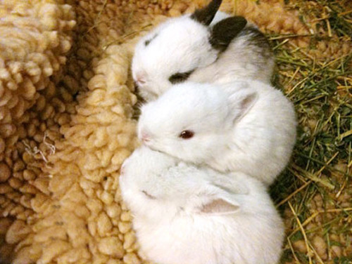 Three baby bunnies, from Cute Overload.