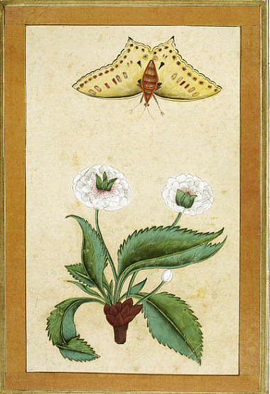 Unknown (India) White Flowers and a Butterfly 18th century