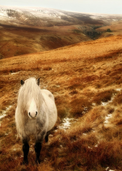 equinestory:  Welsh Mountain Pony (by Anthony Thomas)
