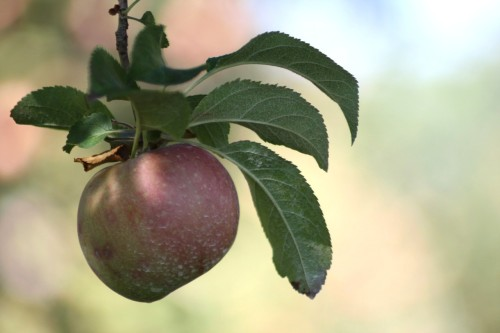 Another pomarious pomme. (Stribling Orchard, Markham VA, apple-picking adventure)