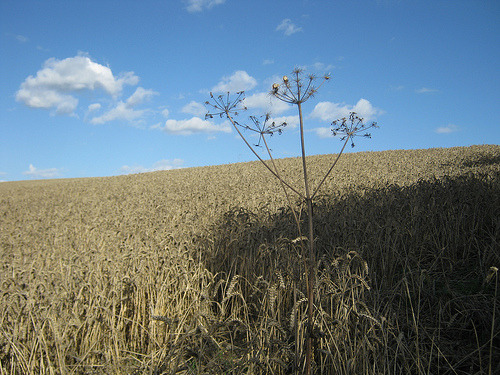 taken a couple of weeks back on a dog walk right before the corn was harvested.