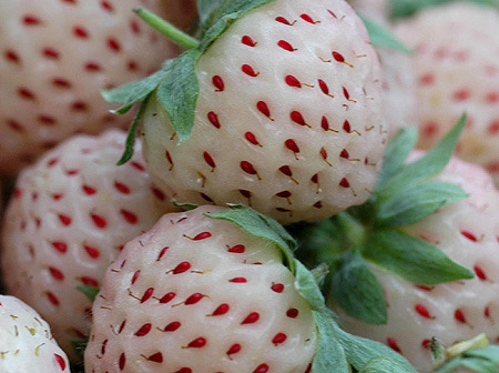 duckandpenguin:  newfilosofee:  dawnuponus:  these are 'pineberries'. allegedly they were sourced from an endangered strain in South Africa and have been cultivated for the past seven years, now available for limited commercial purchase in Europe. they have the same genetic makeup as a strawberry, but are white with red seeds and taste like pineapples!  Yumm!  I'll be darned. It's not a 'shop! They're real, and you can buy the plants from thestrawberrystore.com next spring. Oh you can be sure I will try to grow these yrrebwarts!  I'd rather have a strawberry the size of a pineapple instead of a pineapple the size of a strawberry.