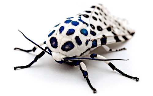 "GIANT LEOPARD MOTH (Hypercompe scribonia) found at 1AM near a light bulb in Newport News, Virginia and showing iridescent blue in the spots. ©Kevincollins123  Other Photos you may enjoy: Deathhead Hawk Moth Luna Moth Oleander ""camo"" Hawkmoth"