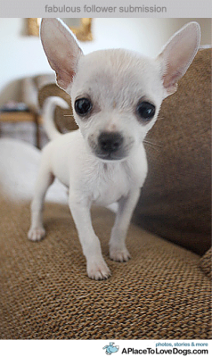 Submitted by darthvadersometal: Jack Sparrow, 1 year old chihuahua