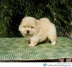 Martin's Chow Chow Siu Mai the 1 month old Chow Chow puppy. Don't you just want to cuddle and kiss em all over?