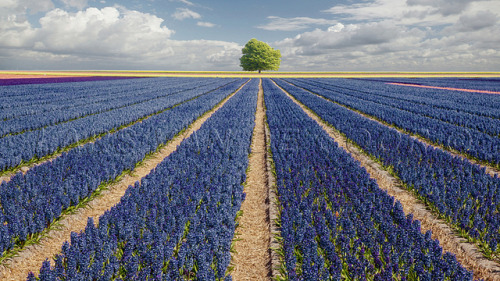 theworldwelivein:  Hyacinths & Tree - Vogelenzang, Netherlands, Europe © Lars van de Goor