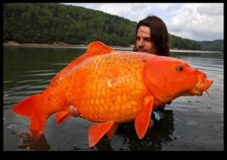 Drawn from the forgotten lakes of Wales, a 183 lb. goldfish flops in the well sculpted arms of its capturer—a young man of Celtic origin sporting long luxurious brown locks.