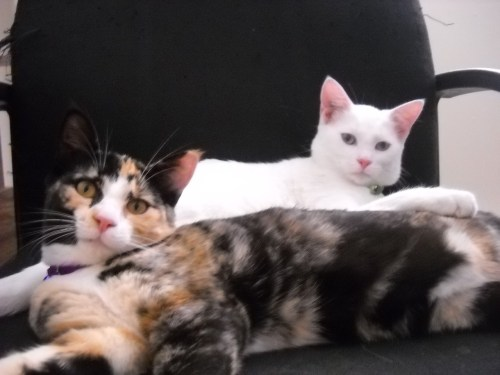 The two loves of my life! Kali (pure white) and Lily (calico) Born April 1st, 2010. Two sisters, two peas in a pod; the reason I wake up in the morning. I love you two soo much <3