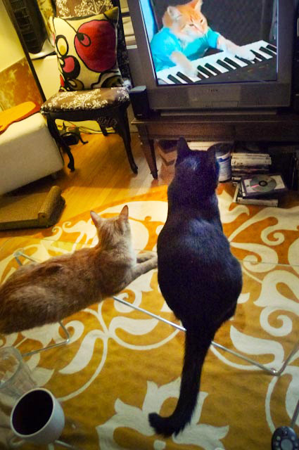 Our Moca and Miles watching Keyboard Cat.