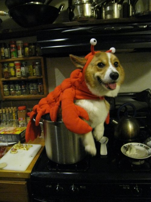 Lobster costumes are incomplete without the proper accessories.  :D submitted by my new favorite person (corgi??) in the whole fucking world: Edison  AHHHHHHHHHHHHH!!! AHHHHHHHHHHHHHHH!!!!!!!!!!!!!!!!!!!!!!!!!! !!!!!!!!!!!!!!!!!!!!!!!!!!!!!!!!!!! This is one of the best submissions I've EVER received!!! A LOBSTER CORGI AFTER MY OWN CRUSTACEAN HEART!  I am giggling like a complete mad woman. This what I've always hoped I would see on the internets and never ever thought I would actually have it submitted directly to me. It's like a gift from the lobster corgi gods! Lobster corgi. Complete with accessories!!!! Hahaha, omg the slab of butter. This is complete win. LOVE IT! Corgi Addict just had a serious lobster corgi related cuteness attack. Too much cholesterol. Corgi Addict will resume posting corgis once she recovers from this mind blowingly rare photo of the lobster corgi in action.