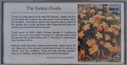 This is Kew's description of Oxalis.  I perceive it to be coming from a fairly limited perspective.  It's a little south Africa-centric, and the bulb-bearing invasives are of more concern than the weedy species…in my opinion.  Plus, South American Oxalis are far more diverse in life-form, habitat, relevance to humans, etc.  Check this out: http://designdrift.tumblr.com/tagged/oxalis