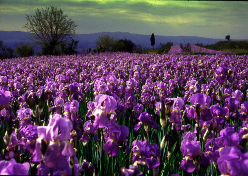 theworldwelivein:  Field of irises in Arezzo, Italy, Europe ©  romano sirigatti