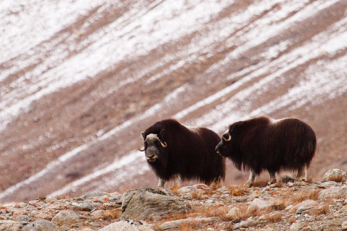 Musk Ox (by Alistair Knock)