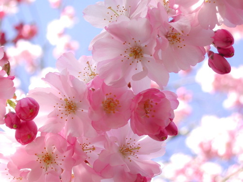 Beautiful and delicate cherry blossom.