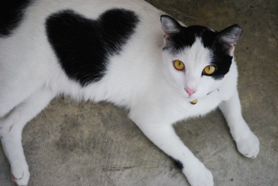 (via fuckyeahfelines) Wow, a love heart printed cat!