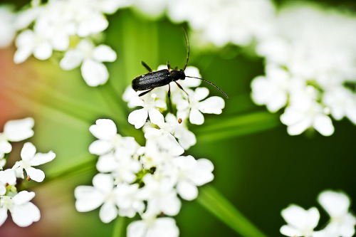 Bug On Flower (by Siniša Jagarinec)