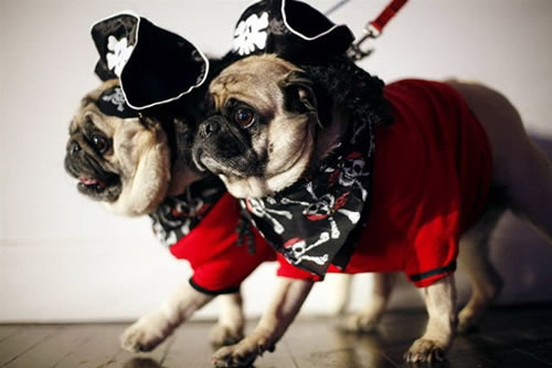 Just for Halloween - Puggy Pirates!!