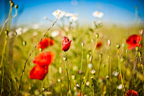 Field Poppy (by Siniša Jagarinec)