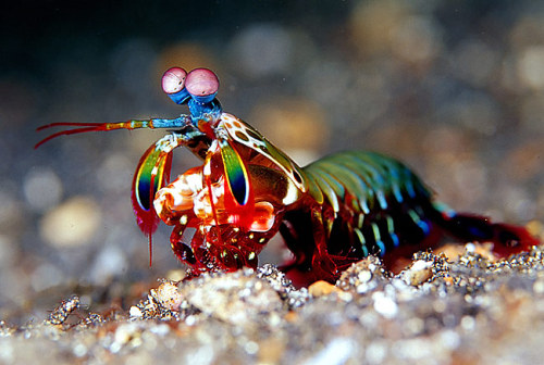 infinity-imagined:  These special arthropods (stomatopods) have 16 visual pigments! We only have four, and we can see millions of colors. Their vision is hyperspectral, they can see ultraviolet and infrared wavelengths, as well as polarized light.  They have 360 degree vision and three parts of each eye can focus on the same spot, so each individual eye has trinocular vision with depth perception.  They have a very large focal range and the eyes can emit light, which is used for communication. They have the most complex visual organs on the planet.