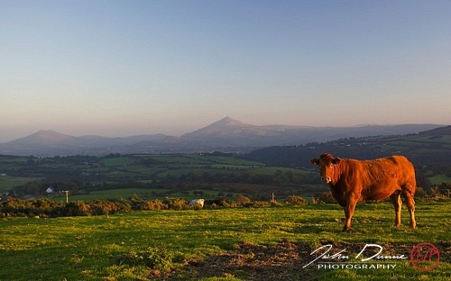 The Curious Cow – Dublin Mountains, Ireland