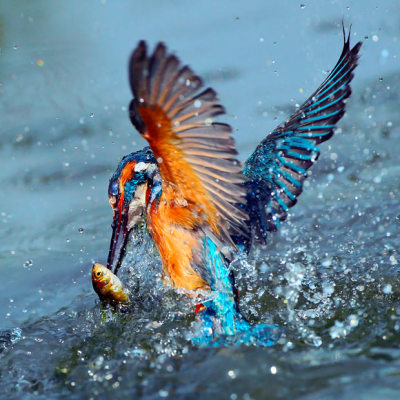 allcreatures:  Photographer John Soong took many pictures of a kingfisher catching food for its babies over the course of a day at a pond at Guandu Nature Park in Taipei. Picture: John Soong / National News and Pictures (via Pictures of the day: 14 October 2010 - Telegraph)