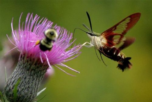 Hummingbird Clearwing Moth drinks from Swamp Thistle (via: Outside My Window)