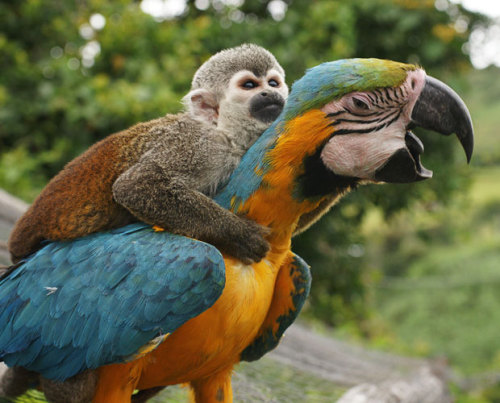 allcreatures:  A lazy monkey hitches a ride to the top of a tree - sitting on the back of a parrot. The squirrel monkey hopped onto the bird and wrapped his arms around its neck to avoid the 26ft climb. He lives with a male and female blue and gold macaw at a countryside hotel, where they always eat and play together. Photographer Alejandro Jaramillo was in San Agustin, Colombia, when he noticed the unusual friendship Picture: Alejandro Jaramillo / Solent News (via Pictures of the day: 20 October 2010 - Telegraph)