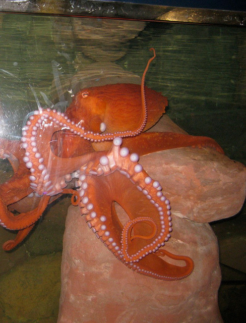 DC Octopus (by Lovage)