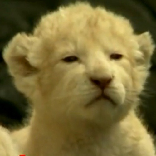 Three White Lion Cubs (Video)via: youtube.comIcyCute