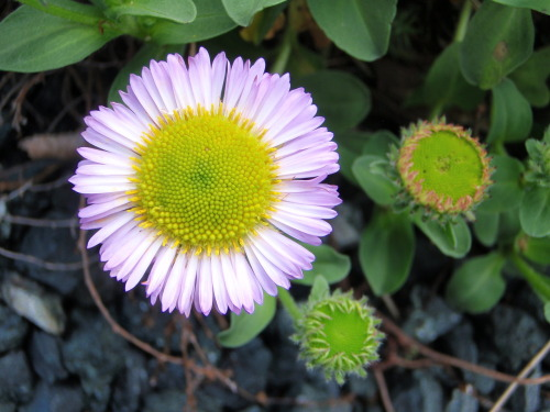 Purple daisy. Maybe pink?