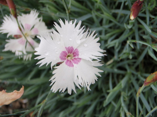 White and pink Dianthus with raindrops.