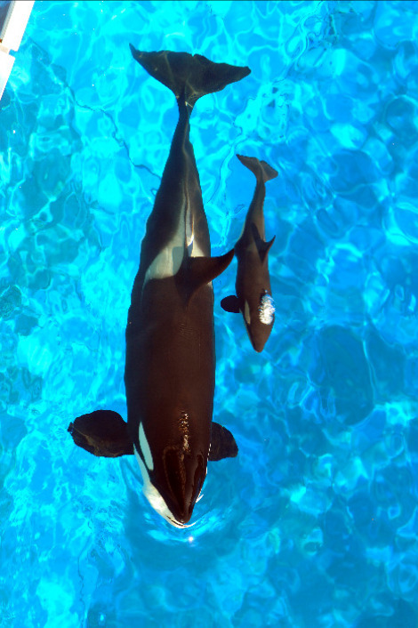 theanimalblog:  Baby Killer Whale Born at SeaWorld Orlando - ZooBorns