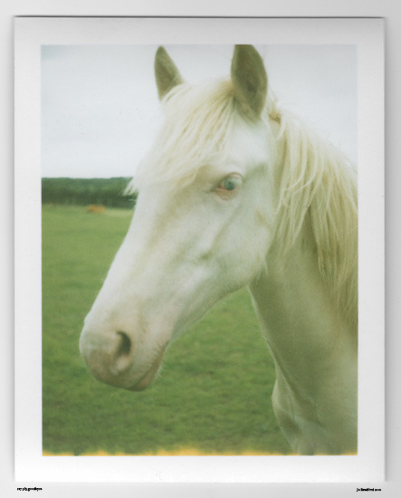 Day 217. Blue Eyes Emily's Cremello Colt Sunshine Meadows, Cornwall, UK.   Polaroid Land Camera 240 and 125i film (expired 12/2007).   Polaroid photograph, all rights reserved, copyright: Jo Bradford 2010
