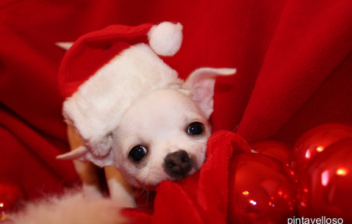 Christmas is coming!!  Want your Chihuahua to join in on the fun? There are cute Christmas themed costumes at G.W.Little!