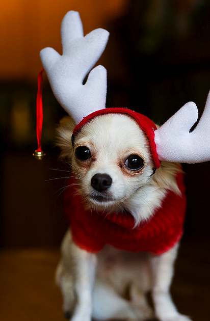 Chihuahuas have fun at Christmas too!!  Check out other cute costumes..