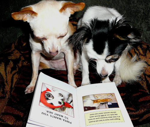 Chihuahua story time!  Theses little girls are enjoying reading a book together