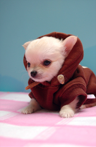 Tiny, tiny jumper for a tiny chihuahua..  Make sure you keep your chihuahua warm too!  There are cute jumpers here to have a look at…