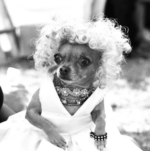 Marilyn Chihuahua.  Beautiful!