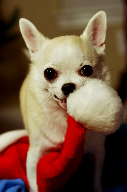 Chihuahua christmas!  Make sure its fun for them too!!  Get something they can entertain themselves with this christmas..  cute presents here…