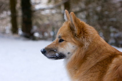 spitz are the best! Icelandic Sheepdog!