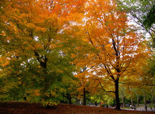 distractionsoflola:  a gradient of fall leaves in Central Park {NYC, 10.26.10}.