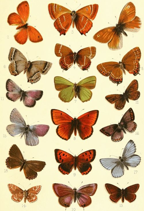 "projectgutenberg: 1894 William S. Furneaux ~ Butterflies and Moths ""Our first example is the Tailed Blue, known also as the Pea-pod Argus. The upper side of this insect (Plate VI, fig. 10) is of a dull smoke colour, exhibiting purple-blue reflections, which are, in the female, confined to distinct blotches on the bases of the wings, but in the male are less noticeable, and extend over the whole surface."" [full text here]"