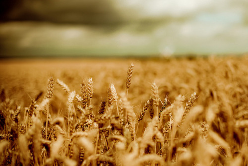 I love pictures of wheat fields.  photoholic:  a windmill (by harold.lloyd)