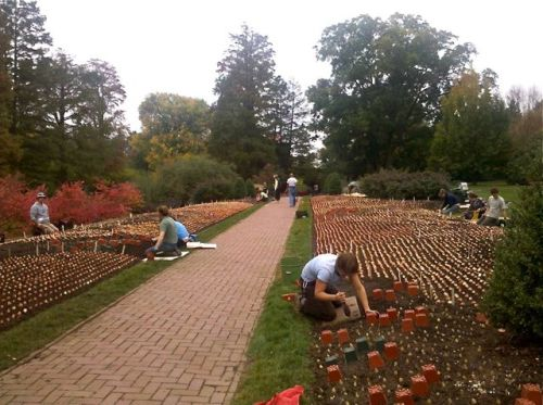 100,000 Tulip Bulbs being planted at Longwood Gardens