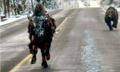 This photo was taken by a tourist driving through Yellowstone Park. The news says half mauled, I say zombie bison. We're all fucked now. UPDATE: Turns out it was taken by an employee and I can't read, which cuts down how many miles the virus traveled I suppose. Silver lining! Yes, That's A Bear Chasing A Half-Mauled Bison Down A Yellowstone Road